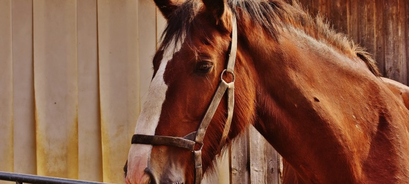 shire-horse-1751800_1280
