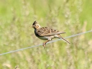 lincolnshire.org-skylark-reserve