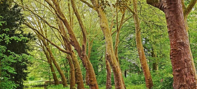 plane-trees-1997129_1280