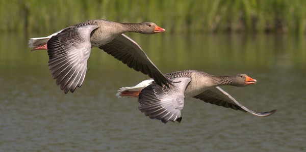 geese-migration-lincs-trust
