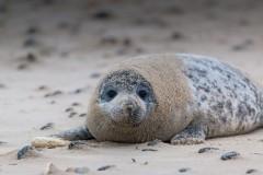 grey-seal-1969537_1280